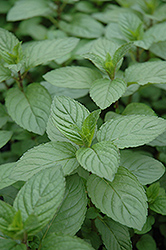 Chocolate Mint (Mentha x piperita 'Chocolate') at Spruce It Up Garden Centre