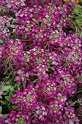 Wonderland Purple Alyssum (Lobularia maritima 'Wonderland Purple') at Spruce It Up Garden Centre
