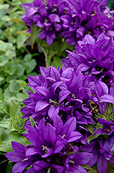 Purple Pixie Clustered Bellflower (Campanula glomerata 'Purple Pixie') at Spruce It Up Garden Centre