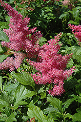 Younique Cerise™ Astilbe (Astilbe 'Verscerise') at Spruce It Up Garden Centre