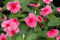 Sunstorm Rose with Eye Vinca (Catharanthus roseus 'Sunstorm Rose with Eye') at Spruce It Up Garden Centre