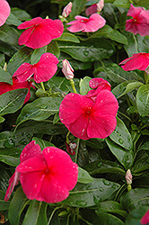 Sunstorm Red Vinca (Catharanthus roseus 'Sunstorm Red') at Spruce It Up Garden Centre