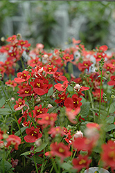 Romeo Red Twinspur (Diascia 'Romeo Red') at Spruce It Up Garden Centre