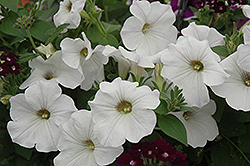 Sanguna White Petunia (Petunia 'Sanguna White') at Spruce It Up Garden Centre