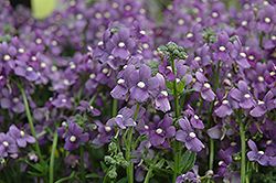 Enchanting Blue Nemesia (Nemesia 'Enchanting Blue') at Spruce It Up Garden Centre
