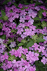 Superbena® Large Lilac Blue Verbena (Verbena 'Superbena Large Lilac Blue') at Spruce It Up Garden Centre