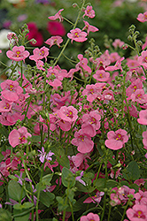 Romeo Pink Twinspur (Diascia 'Romeo Pink') at Spruce It Up Garden Centre
