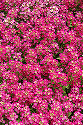 Wonderland Deep Rose Alyssum (Lobularia maritima 'Wonderland Deep Rose') at Spruce It Up Garden Centre