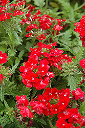 Obsession Red Verbena (Verbena 'Obsession Red') at Spruce It Up Garden Centre