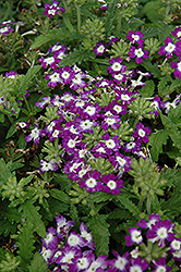 Obsession Blue With Eye Verbena (Verbena 'Obsession Blue With Eye') at Spruce It Up Garden Centre