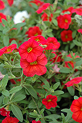 Callie® Scarlet Red Calibrachoa (Calibrachoa 'Callie Scarlet Red') at Spruce It Up Garden Centre