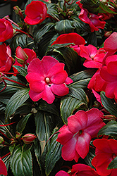 Posh Carmine New Guinea Impatiens (Impatiens 'Posh Carmine') at Spruce It Up Garden Centre