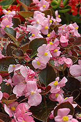 Harmony Pink Begonia (Begonia 'Harmony Pink') at Spruce It Up Garden Centre