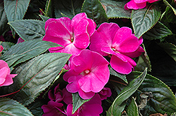 Celebration Purple New Guinea Impatiens (Impatiens hawkeri 'Celebration Purple') at Spruce It Up Garden Centre