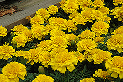Janie Bright Yellow Marigold (Tagetes patula 'Janie Bright Yellow') at Spruce It Up Garden Centre