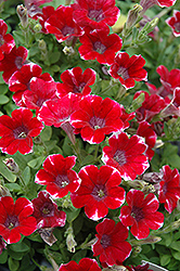 Littletunia Red Star Petunia (Petunia 'Littletunia Red Star') at Spruce It Up Garden Centre