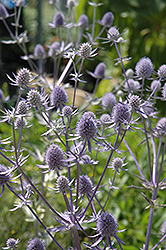 Jade Frost Variegated Sea Holly (Eryngium planum 'Jade Frost') at Spruce It Up Garden Centre