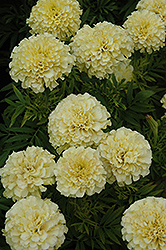 French Vanilla Marigold (Tagetes erecta 'French Vanilla') at Spruce It Up Garden Centre