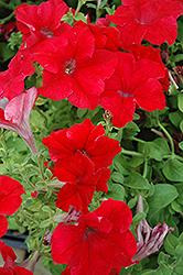 Dreams Red Petunia (Petunia 'Dreams Red') at Spruce It Up Garden Centre