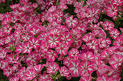 Grammy Pink and White Annual Phlox (Phlox 'Grammy Pink and White') at Spruce It Up Garden Centre