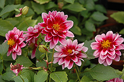 Dalaya® Yogi Dahlia (Dahlia 'KLEDH11031') at Spruce It Up Garden Centre