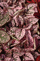 Splash Select Pink Polka Dot Plant (Hypoestes phyllostachya 'Splash Select Pink') at Spruce It Up Garden Centre