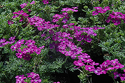 Aztec Magic Purple Verbena (Verbena 'Aztec Magic Purple') at Spruce It Up Garden Centre