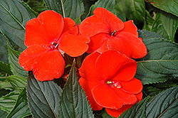 Magnum Fire New Guinea Impatiens (Impatiens 'Magnum Fire') at Spruce It Up Garden Centre