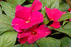 Magnum Purple New Guinea Impatiens (Impatiens 'Magnum Purple') at Spruce It Up Garden Centre