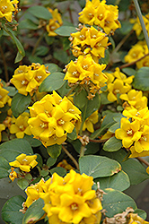 Golden Globes Loosestrife (Lysimachia procumbens 'Golden Globes') at Spruce It Up Garden Centre