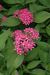Egyptian Star Flower (Pentas lanceolata) at Spruce It Up Garden Centre