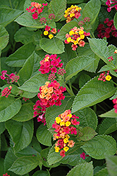 Teenie Genie Lantana (Lantana camara 'Monike') at Spruce It Up Garden Centre