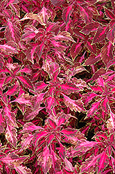 Chaotic Rose Coleus (Solenostemon scutellarioides 'Chaotic Rose') at Spruce It Up Garden Centre