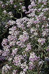 Blushing Princess Sweet Alyssum (Lobularia 'Blushing Princess') at Spruce It Up Garden Centre