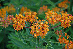 Gay Butterflies Butterfly Weed (Asclepias tuberosa 'Gay Butterflies') at Spruce It Up Garden Centre