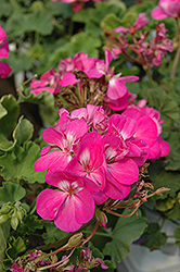 Americana® Orchid Geranium (Pelargonium 'Americana Orchid') at Spruce It Up Garden Centre