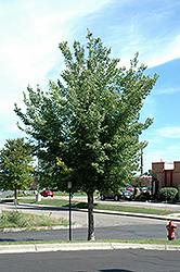Common Hackberry (Celtis occidentalis) at Spruce It Up Garden Centre