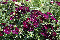 Aztec Blue Velvet Verbena (Verbena 'Aztec Blue Velvet') at Spruce It Up Garden Centre