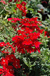 Tukana Scarlet Star Verbena (Verbena 'Tukana Scarlet Star') at Spruce It Up Garden Centre