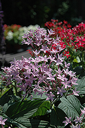 Butterfly™ Blue Star Flower (Pentas lanceolata 'Butterfly Blue') at Spruce It Up Garden Centre