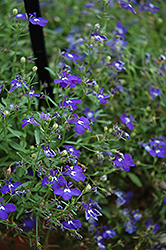 Hot Springs™ Dark Blue Lobelia (Lobelia 'Hot Springs Dark Blue') at Spruce It Up Garden Centre