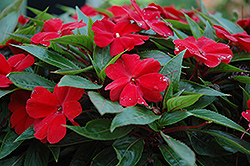 Celebrette Red New Guinea Impatiens (Impatiens 'Celebrette Red') at Spruce It Up Garden Centre