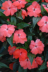 Celebration Tropical Peach New Guinea Impatiens (Impatiens hawkeri 'Celebration Tropical Peach') at Spruce It Up Garden Centre