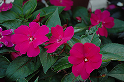 Celebration Sangria New Guinea Impatiens (Impatiens hawkeri 'Celebration Sangria') at Spruce It Up Garden Centre