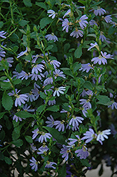 Blue Ribbon Fan Flower (Scaevola aemula 'Blue Ribbon') at Spruce It Up Garden Centre