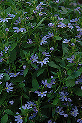 Blue Print Fan Flower (Scaevola aemula 'Blue Print') at Spruce It Up Garden Centre