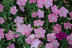 Easy Wave® Shell Pink Petunia (Petunia 'Easy Wave Shell Pink') at Spruce It Up Garden Centre