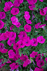 Shock Wave Purple Petunia (Petunia 'Shock Wave Purple') at Spruce It Up Garden Centre