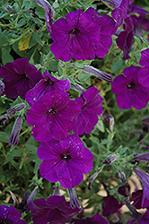 Fame Blue Petunia (Petunia 'Fame Blue') at Spruce It Up Garden Centre