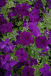 Bravo Blue Petunia (Petunia 'Bravo Blue') at Spruce It Up Garden Centre